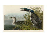 Great Northern Diver or Loon Art by John James Audubon