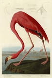 American Flamingo Print by John James Audubon