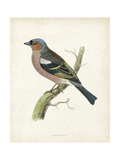 Morris Chaffinch Prints by  Morris