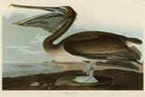 Brown Pelican Prints by John James Audubon