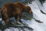 Brown Bear Grizzly Bear Looking at Salmon Katmai National Park Alaska Usa. Photographic Print by  Nosnibor137