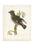 Morris Waxwing Poster by Reverend Francis O. Morris