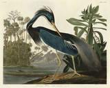 Louisiana Heron Plakat autor John James Audubon