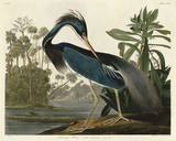 Louisiana Heron Poster by John James Audubon