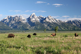 Buffalo in the Tetons Poster by  jclark