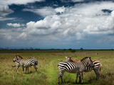 Zebras in Savanna of Nairobi National Park. Nairobi Skyline is Visible on the Horizon. Kenya Prints by Dudarev Mikhail