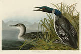 Great Northern Diver or Loon Prints by John James Audubon