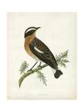 Morris Whinchat Prints by Reverend Francis O. Morris