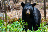 American Black Bear in Shenandoah National Park, Virginia Poster by  Orhan