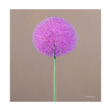 Alium Giclee Print by Lincoln Seligman