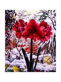 Amaryllis by Snow Window Giclee Print by Christopher Ryland