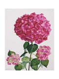 Hydrangea Giclee Print by Christopher Ryland