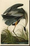 Great Blue Heron Stretched Canvas Print by John James Audubon