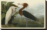 Purple Heron Stretched Canvas Print by John James Audubon