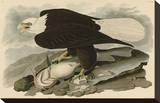 White-Headed Eagle Stretched Canvas Print by John James Audubon