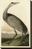 Hooping Crane Stretched Canvas Print by John James Audubon