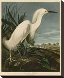 Snowy Heron or White Egret Stretched Canvas Print by John James Audubon