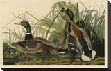 Mallard Duck Stretched Canvas Print by John James Audubon