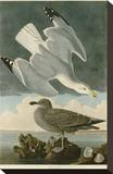 Herring Gull Stretched Canvas Print by John James Audubon