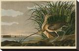Long-Billed Curlew Stretched Canvas Print by John James Audubon
