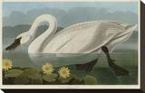 Common American Swan Stretched Canvas Print by John James Audubon