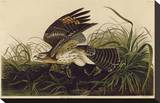 Winter Hawk Stretched Canvas Print by John James Audubon