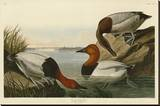 Canvas Backed Duck Stretched Canvas Print by John James Audubon