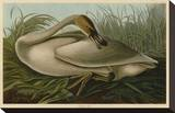 Trumpeter Swan Stretched Canvas Print by John James Audubon