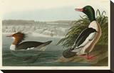 Goosander Stretched Canvas Print by John James Audubon