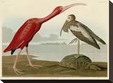 Scarlet Ibis Stretched Canvas Print by John James Audubon