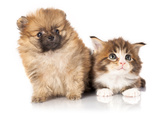 Spitz Puppy and Kitten Breeds Maine Coon, Cat and Dog Poster by  Lilun