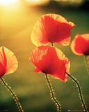 Poppies - Glow Posters