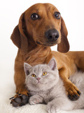 British Kitten  and Dog Dachshund Photographic Print by  Lilun