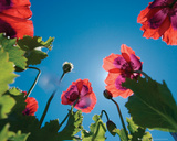 Poppies - Sky Poster