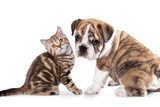 Cat and Dog, British Kitten and English Bulldog Puppy Photographic Print by  Lilun