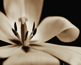 Flowers - Tulip Print