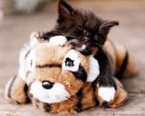 Kitten - Tiger Toy Poster