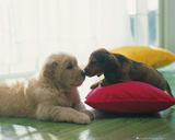 Puppies - Kiss Reprodukcje