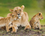 Lion & Cubs Poster
