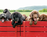 Puppies - Red Wagon Posters