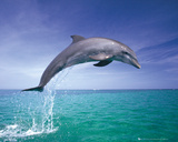 Dolphins - Jumping Posters