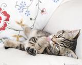 Kitten - Licking Paw Foto