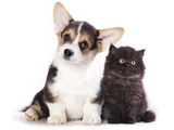 Pembroke Welsh Corgi Puppy and  Kitten Posters by  Lilun