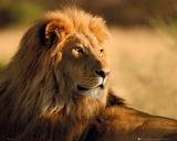 Lion - Sunset Poster