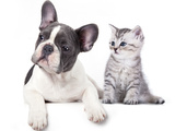 Cat and Dog, British Kitten and  French Bulldog Puppy Poster by  Lilun