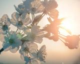 Blossom -Sun - Posterler