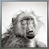 Wet Baboon(framed) Stretched Canvas Print