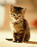 Kitten - Sitting Affiches