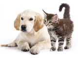 Labrador Puppy and Kitten Breeds Maine Coon, Cat and Dog Prints by  Lilun