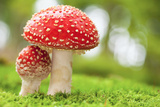 Macro Photo of Amanita Muscaria in Forest Photographic Print by  Jag_cz